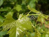 Консервированные виноградные листья