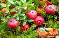 Чем полезна ягода клюква