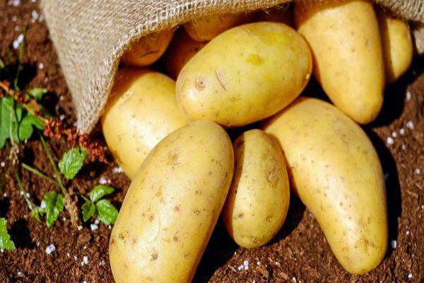 здоровые клубни картофеля