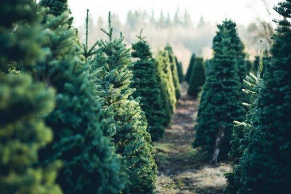 Как выбрать елку к Новому году 2021. Памятка по выбору живой и искусственной ели