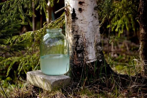 заготовка березового сока