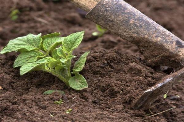 Сажать или нет огород в Чистый четверг перед Пасхой