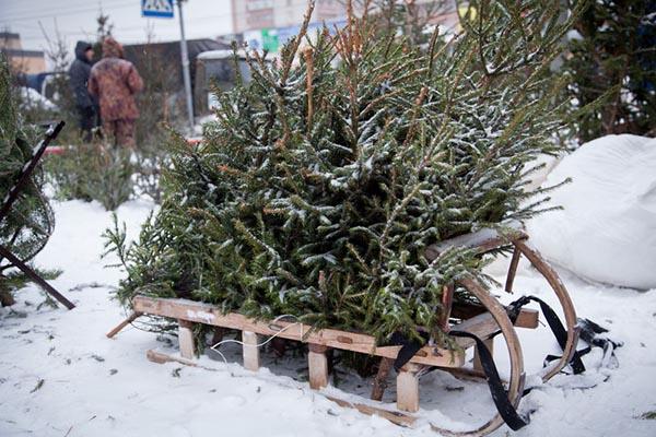 Когда и где в Москве откроют елочные базары. Цены на елки