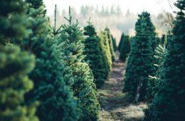 Миниатюра к статье Как выбрать елку к Новому году 2020. Памятка по выбору живой и искусственной ели